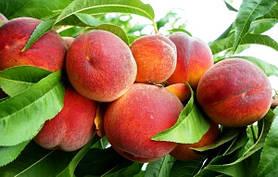 Саженцы персика: сорта раннего, среднего и позднего срока созревания, инжирной формы, красномясые.