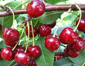 Саженцы вишни: сорта разного срока созревания.