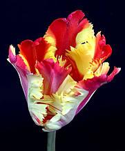Тюльпан попугайный Flaming Parrot Gold (Флеминг Перрот Голд) 10/11