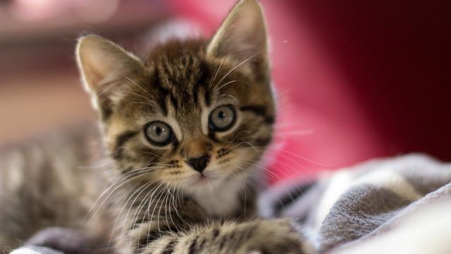 Корм для стерилизованных котят Royal Canin Kitten Sterilised
