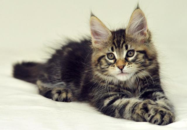 Корм для котят породы Мейн-кун Royal Canin Maine Coon Kitten