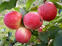 Саженцы яблони: летние сорта