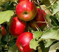 Саженцы яблони: осенние сорта