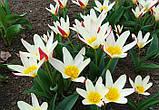 Тюльпан Johann Strauss (Иоганн Штраус) Ботанический 11/12, фото 2