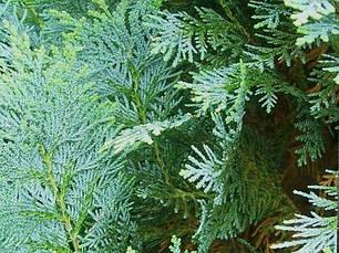 Кипарисовик Лавсона Columnaris 4 річний, Кипарисовик Лавсона Колумнарис Chamaecyparis Lawsoniana Columnaris, фото 2