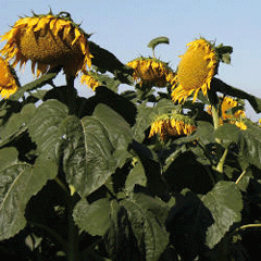 Семена сорта подсолнечника Крепыш улучшенный