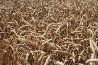 Озимая пшеница Наснага элита, 1 репр безостая