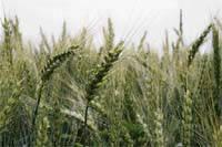 Озимая пшеница Шестопаловка элита, 1 репр. остистая