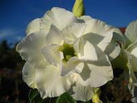 Комнатное растение Адениум White house, сажанец