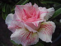 Комнатное растение Адениум Pinkpanter, сажанец