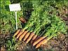 Морковь Канада F1 семена сорта средне-поздней моркови устойчивой к растрескиванию с тупым кончиком, фото 2