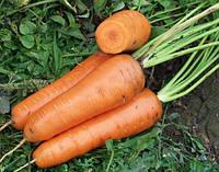 Морковь Канада F1 семена сорта средне-поздней моркови устойчивой к растрескиванию с тупым кончиком