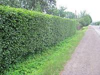 Граб обыкновенный (грабинник) для живых изгородей, бордюров, живых заборов и стен, берсо.