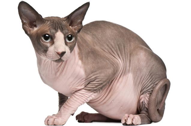 Корм для кошек породы сфинкс Royal Canin Sphynx