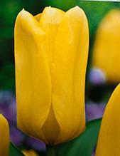 Тюльпан гибрид Фостера Candella (Канделла) 3 шт./уп.