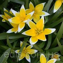 Тюльпан ботанічний Tarda (Тарда) 5 шт./уп.