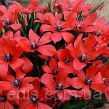 Тюльпан ботанічний Linifolia (Лініфолія) 5 шт./уп.