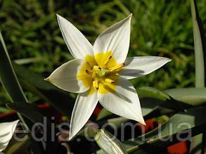 Тюльпан ботанічний Turkestanica (Туркестаніка) 5 шт./уп.