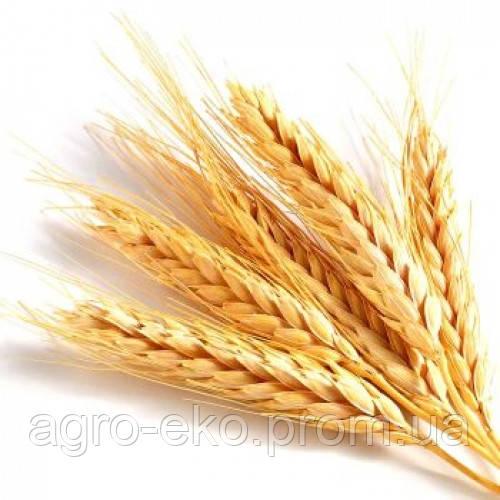 Пшеница озимая Шестопаловка (1 репродукция)