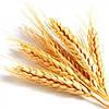 Пшеница озимая Шестопаловка (1 репрод.)