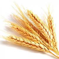 Пшеница озимая Шестопаловка элита