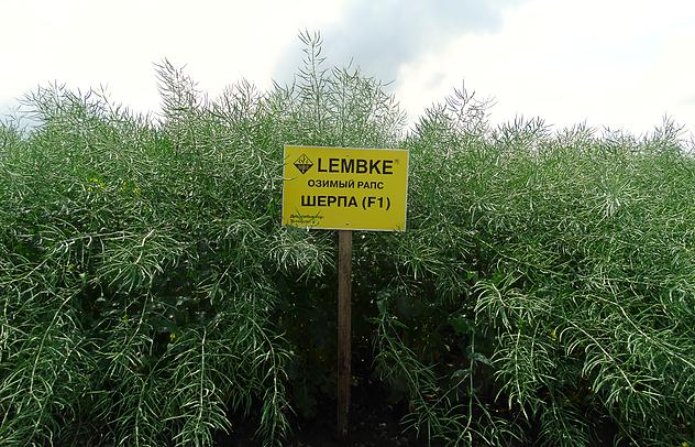 Семена Рапса озимого Шерпа Lembke