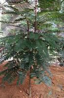 Уникальное растение из Юго-Восточной Азии.