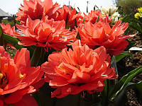 Тюльпан махровый мультифлора Toronto Double 3 шт./уп., фото 1
