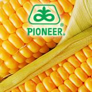 Кукуруза Pioneer