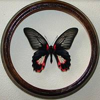 Сувенир - Бабочка в рамке Papilio rumanzovia f. Оригинальный и неповторимый подарок!