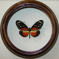 Сувенир - Бабочка в рамке Heliconius ssp. Оригинальный и неповторимый подарок!