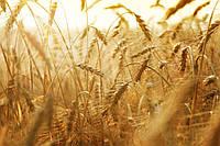 Десиканты для пшеницы