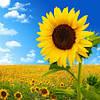 Подсолнечник Сонячный настрий (Гранстарустойчивый. устойчив к заризихе abcde)