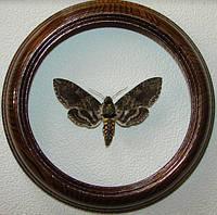 Сувенир - Бабочка в рамке Manduca sexta . Оригинальный и неповторимый подарок!