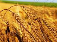 Инсектициды для пшеницы