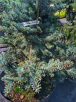 Ель колючая Picea pungens Blue Trinket p15