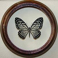 Сувенир - Бабочка в рамке Chilasa clytia dissimilis. Оригинальный и неповторимый подарок!