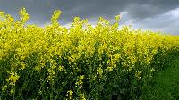 Семена рапса Юкон, Seed Grain Company