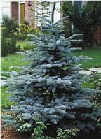 Ель колючая Костер 120-140см (Picea pungens Koster)