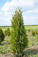 Туя западная Колумна 100-125см (Thuja occidentalis Columna )