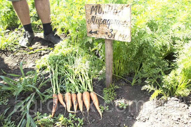 морковь Мирафлора