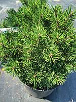 Сосна горная Миникин( Pinus mugo Minikin) саженцы h 20-30см
