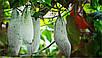 Трихозант или Змеевидный огурец семена, фото 2