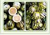 Семена Тзимбало, фото 2