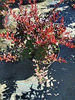 Барбарис Тунберга Атропурпуреа нана (Berberis thunbergii Atropurpurea nana) контейнер 2,5 л.