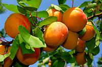 Саженцы абрикоса: сорта раннего срока созревания.