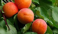 Саженцы абрикоса: сорта среднего срока созревания.