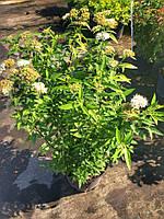 """Спирея японская """"Альбифлора"""" (Spiraea japonica 'Albiflora') контейнер 2,5 л."""