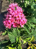 Спирея японская Криспа (Spiraea japonica Crispa) контейнер 2,5 л.