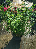 Спирея японская Дартс Ред (Spiraea japonica Dart's Red) контейнер 2,5 л.